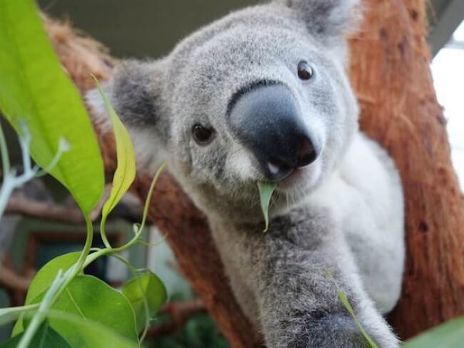 17585915-a99602_2D274905541814-tdy-koala-selfie-140404-05today-inline-large2x-1474969475-650-2f8b80c511-1484149820